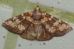 裳蛾科 Erebidae | 鱗翅目 Lepidoptera | 昆蟲綱 Insecta | 節肢動物門 ...